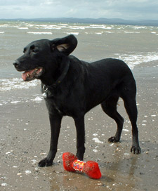 Picture of Mandy on Troon Beach with her Toy Bone